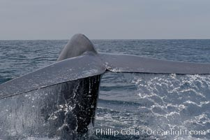A blue whale raises its fluke before diving in search of food.  The blue whale is the largest animal on earth, reaching 80 feet in length and weighing as much as 300,000 pounds.  Near Islas Coronado (Coronado Islands), Balaenoptera musculus, Coronado Islands (Islas Coronado)