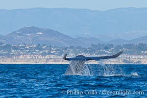 Blue whale fluking up (raising its tail) before a dive to forage for krill, La Jolla, California