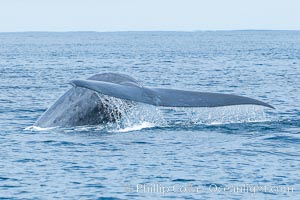 Blue whale raising fluke, prior to diving for food, fluking up, lifting its tail as it swims in the open ocean foraging for food, Balaenoptera musculus, San Diego, California