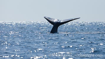 Blue whale, raising fluke prior to diving for food, fluking up, lifting tail as it swims in the open ocean foraging for food. Dana Point, California, USA, Balaenoptera musculus, natural history stock photograph, photo id 27343