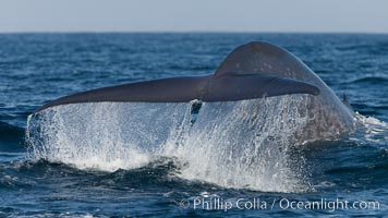 Blue whale, raising fluke prior to diving for food, fluking up, lifting tail as it swims in the open ocean foraging for food, Balaenoptera musculus, Dana Point, California
