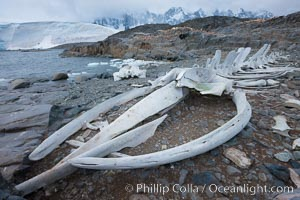 Blue whale skeleton in Antarctica, on the shore at Port Lockroy, Antarctica.  This skeleton is composed primarily of blue whale bones, but there are believed to be bones of other baleen whales included in the skeleton as well. Antarctic Peninsula, Balaenoptera musculus, natural history stock photograph, photo id 25604