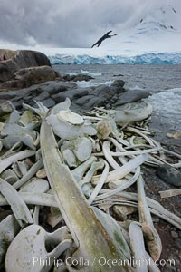 Blue whale skeleton in Antarctica, on the shore at Port Lockroy, Antarctica.  This skeleton is composed primarily of blue whale bones, but there are believed to be bones of other baleen whales included in the skeleton as well, Balaenoptera musculus