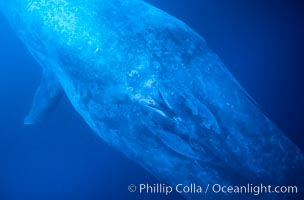 Blue whale, blowhole of inquisitive adult, underwater view close up, Balaenoptera musculus
