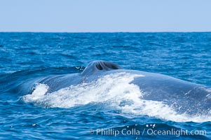 A blue whale opens its twin blowholes while breathing at the surface between dives.  The blue whale is the largest animal on earth, reaching 80 feet in length and weighing as much as 300,000 pounds.  Near Islas Coronado (Coronado Islands), Balaenoptera musculus, Coronado Islands (Islas Coronado)