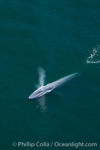 Blue whale, exhaling as it surfaces from a dive, aerial photo.  The blue whale is the largest animal ever to have lived on Earth, exceeding 100' in length and 200 tons in weight. Redondo Beach, California, USA, Balaenoptera musculus, natural history stock photograph, photo id 25969