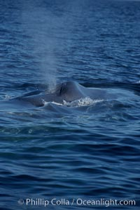 A blue whale blows (spouts) just as it surfaces after spending time at depth in search of food.  Open ocean offshore of San Diego, Balaenoptera musculus