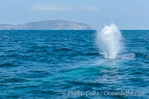 A blue whale blows (exhales, spouts) as it rests at the surface between dives.  A blue whales blow can reach 30 feet in the air and can be heard for miles.  The blue whale is the largest animal on earth, reaching 80 feet in length and weighing as much as 300,000 pounds.  Near Islas Coronado (Coronado Islands), Balaenoptera musculus, Coronado Islands (Islas Coronado)