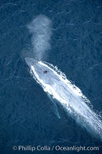 Blue whale, exhaling in a huge blow as it swims at the surface between deep dives.  The blue whale's blow is a combination of water spray from around its blowhole and condensation from its warm breath. La Jolla, California, USA, Balaenoptera musculus, natural history stock photograph, photo id 21270