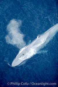 Blue whale, exhaling in a huge blow as it swims at the surface between deep dives.  The blue whale's blow is a combination of water spray from around its blowhole and condensation from its warm breath. La Jolla, California, USA, Balaenoptera musculus, natural history stock photograph, photo id 21292