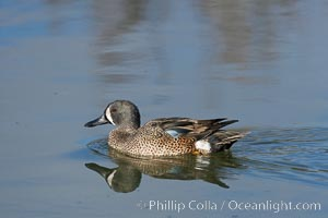 Blue-winged teal, male, Anas discors, Upper Newport Bay Ecological Reserve, Newport Beach, California
