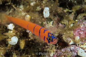 Bluebanded goby, Lythrypnus dalli, Catalina Island