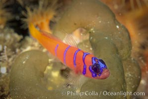 Blue-banded goby, Catalina island. Catalina Island, California, USA, Lythrypnus dalli, natural history stock photograph, photo id 02346