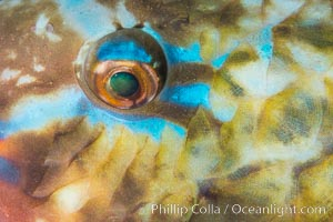 Bluechin Parrotfish Eye Detail, Scarus ghobban, Sea of Cortez, Isla Cayo, Baja California, Mexico
