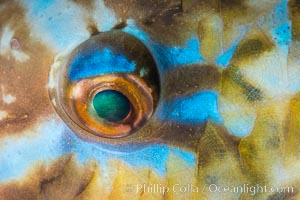 Bluechin Parrotfish Eye Detail, Scarus ghobban, Sea of Cortez. Isla Cayo, Baja California, Mexico, natural history stock photograph, photo id 33754