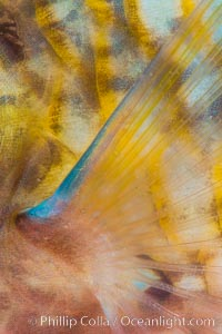 Bluechin Parrotfish Fin Detail, Scarus ghobban, Sea of Cortez, Isla Cayo, Baja California, Mexico
