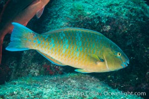 Bluechin Parrotfish, Scarus ghobban, Sea of Cortez, Isla San Diego, Baja California, Mexico