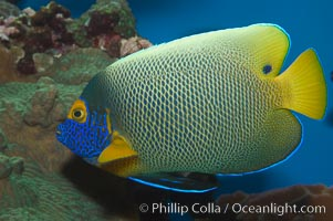 Blue face angelfish., Pomacanthus xanthometopon, natural history stock photograph, photo id 07853