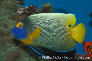 Blue face angelfish., Pomacanthus xanthometopon, natural history stock photograph, photo id 07854
