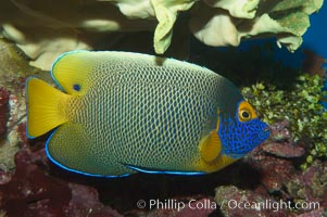 Blue face angelfish., Pomacanthus xanthometopon, natural history stock photograph, photo id 07856