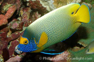 Blue face angelfish., Pomacanthus xanthometopon, natural history stock photograph, photo id 08662