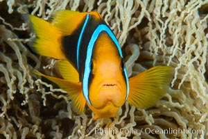 Bluestripe clownfish, Amphiprion chrysopterus, Fiji. Fiji, Amphiprion chrysopterus, natural history stock photograph, photo id 34775