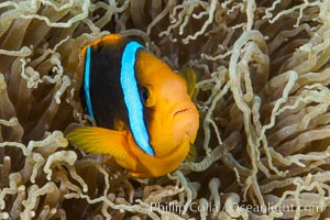 Bluestripe clownfish, Amphiprion chrysopterus, Fiji. Fiji, Amphiprion chrysopterus, natural history stock photograph, photo id 34992
