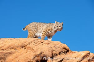 Bobcat.  Bobcats are found throughout North America from southern Canada to southern Mexico. In the United States population densities are much higher in the southeastern region than in the western states. Bobcats can be found in a variety of habitats, including forests, semi-deserts, mountains, and brushland. They sleep in hidden dens, often in hollow trees, thickets, or rocky crevices., Lynx rufus, natural history stock photograph, photo id 12123