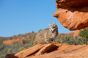 Bobcat.  Bobcats are found throughout North America from southern Canada to southern Mexico. In the United States population densities are much higher in the southeastern region than in the western states. Bobcats can be found in a variety of habitats, including forests, semi-deserts, mountains, and brushland. They sleep in hidden dens, often in hollow trees, thickets, or rocky crevices., Lynx rufus, natural history stock photograph, photo id 12132