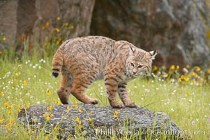 Bobcat, Sierra Nevada foothills, Mariposa, California., Lynx rufus, natural history stock photograph, photo id 15917