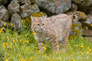 Bobcat, Sierra Nevada foothills, Mariposa, California., Lynx rufus, natural history stock photograph, photo id 15918