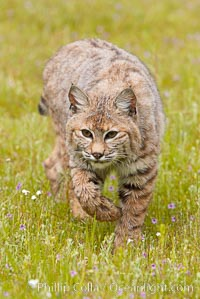 Bobcat, Sierra Nevada foothills, Mariposa, California., Lynx rufus, natural history stock photograph, photo id 15920