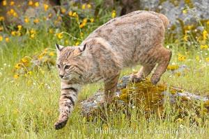 Bobcat, Sierra Nevada foothills, Mariposa, California., Lynx rufus, natural history stock photograph, photo id 15921