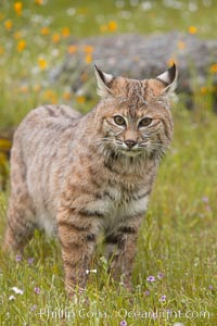 Bobcat, Sierra Nevada foothills, Mariposa, California., Lynx rufus, natural history stock photograph, photo id 15922