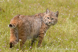 Bobcat, Sierra Nevada foothills, Mariposa, California., Lynx rufus, natural history stock photograph, photo id 15929