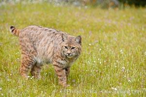 Bobcat, Sierra Nevada foothills, Mariposa, California., Lynx rufus, natural history stock photograph, photo id 15932