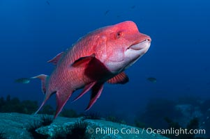 Mexican hogfish, adult male showing fleshy bump on head. Guadalupe Island (Isla Guadalupe), Baja California, Mexico, Bodianus diplotaenia, natural history stock photograph, photo id 09615