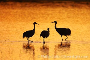 Sandhilll cranes in golden sunset light, silhouette, standing in pond. Bosque del Apache National Wildlife Refuge, Socorro, New Mexico, USA, Grus canadensis, natural history stock photograph, photo id 21798