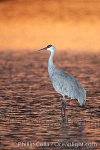 A sandhill crane, standing in still waters with rich gold sunset light reflected around it, Grus canadensis, Bosque del Apache National Wildlife Refuge, Socorro, New Mexico