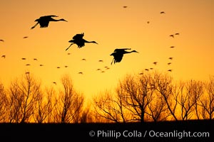 Sandhill cranes in flight, silhouetted against a richly colored evening sky.  A composite of two photographs taken moments apart, combined digitally. Bosque del Apache National Wildlife Refuge, Socorro, New Mexico, USA, Grus canadensis, natural history stock photograph, photo id 21814