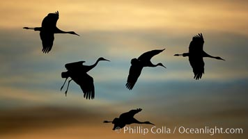 Sandhill cranes in flight, silhouetted against a richly colored evening sky.  A composite of two photographs taken moments apart, combined digitally, Grus canadensis, Bosque del Apache National Wildlife Refuge, Socorro, New Mexico