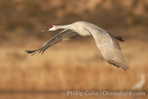 Sandhill crane spreads its broad wings as it takes flight in early morning light.  This crane is one of over 5000 present in Bosque del Apache National Wildlife Refuge, stopping here during its winter migration, Grus canadensis, Socorro, New Mexico