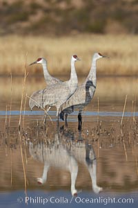 A trio of sandhill cranes, standing in perfectly still water, reflected like a mirror in rich early morning light, Grus canadensis, Bosque del Apache National Wildlife Refuge, Socorro, New Mexico