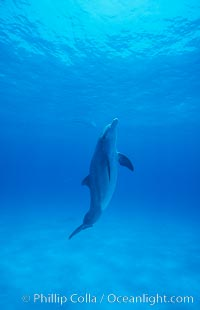 Atlantic bottlenose dolphin. Bahamas, Tursiops truncatus, natural history stock photograph, photo id 00692