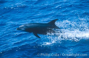 Pacific bottlenose dolphin at Guadalupe Island, Mexico, Guadalupe Island (Isla Guadalupe)