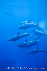 Pacific  bottlenose dolphin, Tursiops truncatus