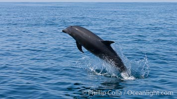Bottlenose dolphin, leaping over the surface of the ocean, offshore of San Diego. San Diego, California, USA, Tursiops truncatus, natural history stock photograph, photo id 26812