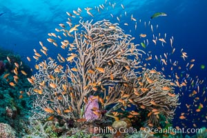 Branching whip coral (Ellisella sp) captures passing planktonic food in ocean currents, Fiji, Pseudanthias, Ellisella, Bligh Waters