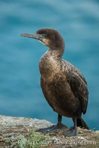 Brandt's cormorant. La Jolla, California, USA, natural history stock photograph, photo id 30414