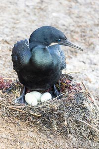 Brandt's Cormorant with eggs on the nest, nesting material composed of kelp and sea weed, La Jolla
